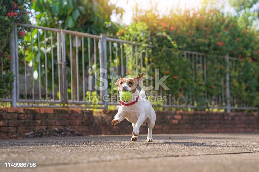 Happy joyful and playful jack russell dog relaxing and resting on gress garden at the park outdoors and outside on summer vacation holidays