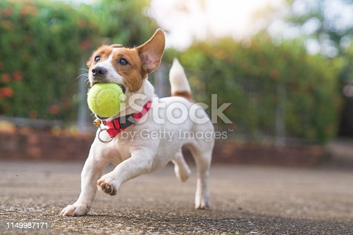 istock Happy joyful and playful jack russell dog relaxing and resting on gress garden at the park outdoors and outside on summer vacation holidays 1149987171