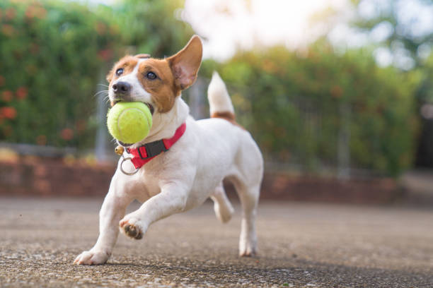 Happy joyful and playful jack russell dog relaxing and resting on gress garden at the park outdoors and outside on summer vacation holidays stock photo