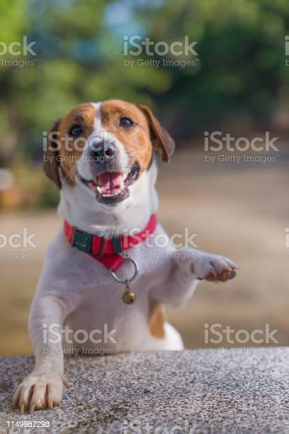 Happy joyful and playful jack russell dog relaxing and resting on picture id1149987293?b=1&k=6&m=1149987293&s=612x612&h=axgaffocfaycszk lh27pld1qy7yryh3p1pe4j2h9v4=