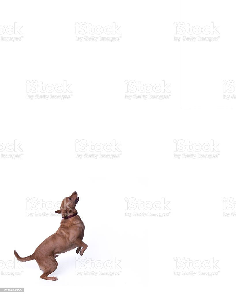 Happy Joyful Labrador Retriever Dog Jumping stock photo