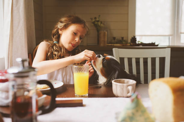 happy kid girl having breakfast at home and feeding cavalier king charles spaniel dog from table stock photo