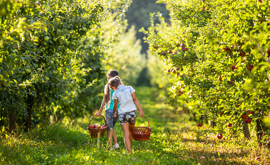 Happy kids with baskets on apple-trees alley, picking apples on sunny day.