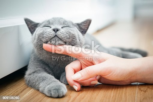 istock Happy kitten likes being stroked by woman's hand. 909106260