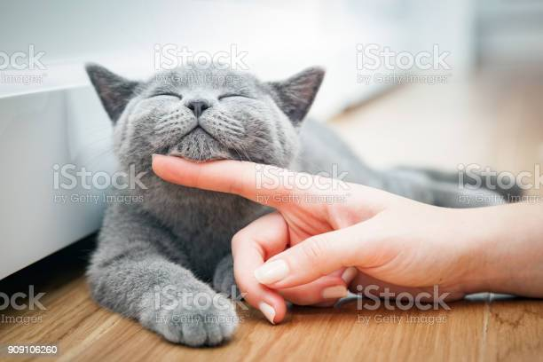Happy kitten likes being stroked by womans hand picture id909106260?b=1&k=6&m=909106260&s=612x612&h=gs 1g15yjfoh6flpjgteqz4f vjuqla asopfeaafry=