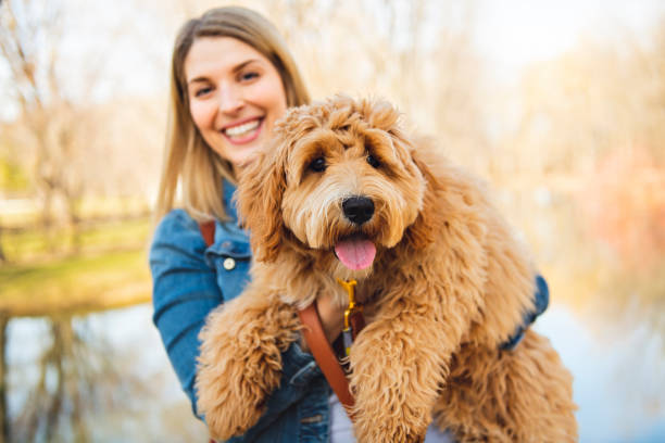 lycklig labradoodle förfölja och kvinnan utanför på parkera - animal doodle bildbanksfoton och bilder