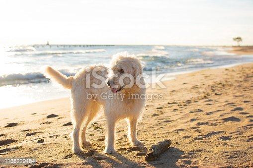 Yellow Labrador and Poodle Mix Dog playing with wood stick on Lake Michigan Beach at Sunrise