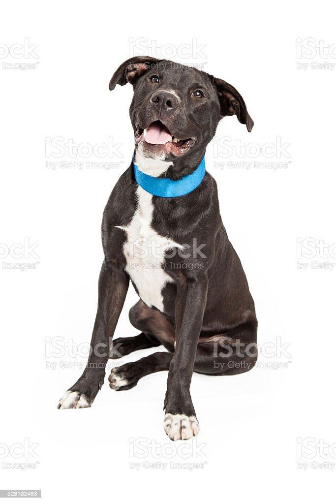 Feliz Labrador y Border Collie mezclar - foto de stock