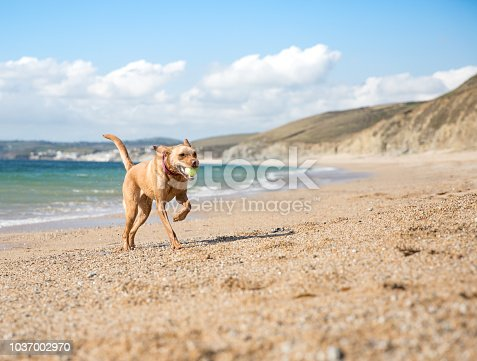A happy, yellow Labrador retriever dog running back to its owner with a tennis ball in its mouth on a beautiful sunny beach