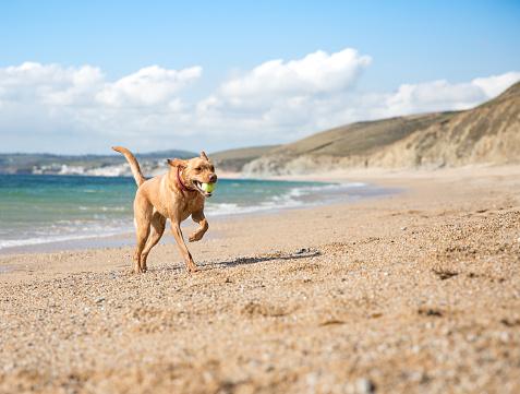 Happy Labrador Dog on a Beach