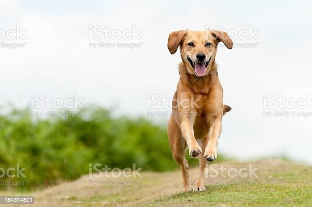 Happy light brown dog filled with joy running around outside picture id184314821?b=1&k=6&m=184314821&s=612x612&h=vtnvz00fn0hmdry56aieio0pjxpkvncuyhncrnqgwgu=