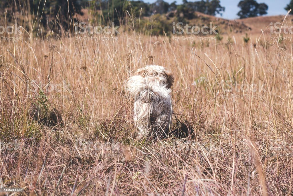 Happy little dog walking away in the middle of the medow stock photo