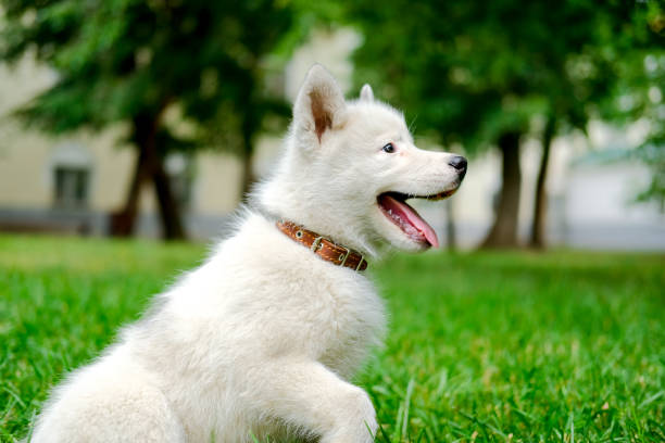 Happy Little white puppy Husky 2 months old smiling in profile on the grass in park. Summer dog walking. stock photo