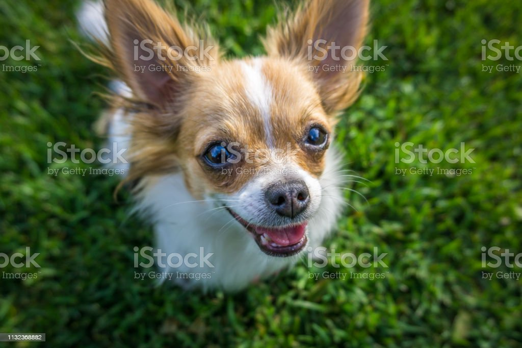 Happy Longhaired Chihuahua Puppy Stock Photo Download Image Now Istock
