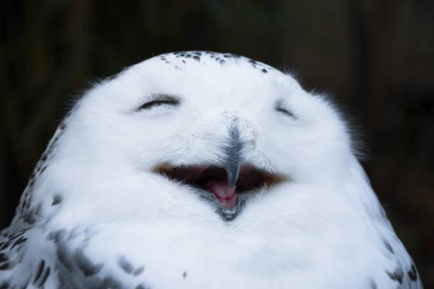 Happy looking smiling white snowy owl picture id916958732?b=1&k=6&m=916958732&s=612x612&w=0&h=yatigkp8yy3d3honhg wsaaayletz4vnqrvm9lbv n4=