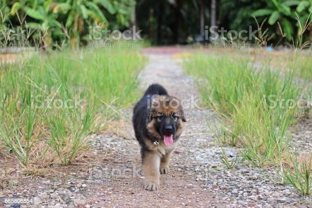 Happy lovely german shepherd puppy playing in green grass nature on picture id868808854?b=1&k=6&m=868808854&s=612x612&h=j2ouay5j6hymj0r5jh22 a9slni vawfz 2 uzi90qm=