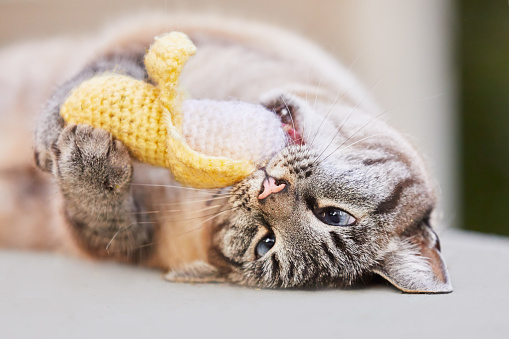 Happy lynx point or Siamese tabby cat rolls over on the floor and plays with a crouched catnip banana toy