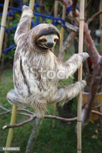 Happy rescued male sloth in El Valle de Anton, Panama.