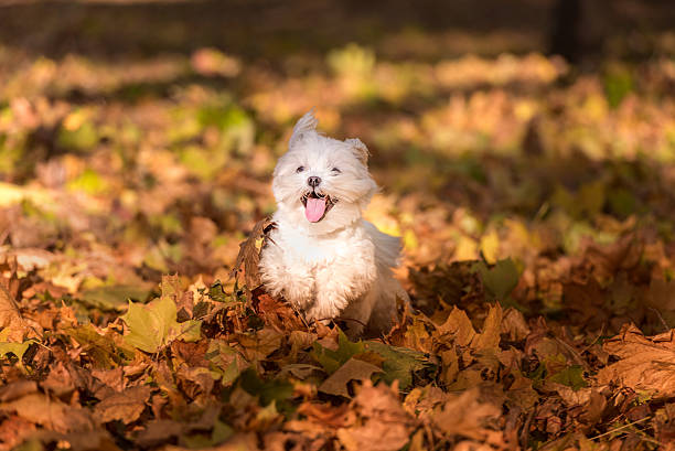 Happy Maltese Dog is Running on the Autumn Leaves Ground. stock photo