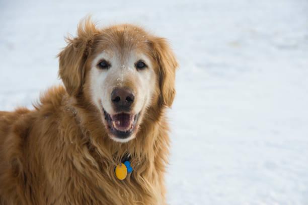 Happy Mature Golden Retriever in Snow