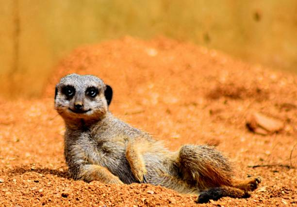 happy meerkat posing on sand cute funny - meerkat stock photos and pictures