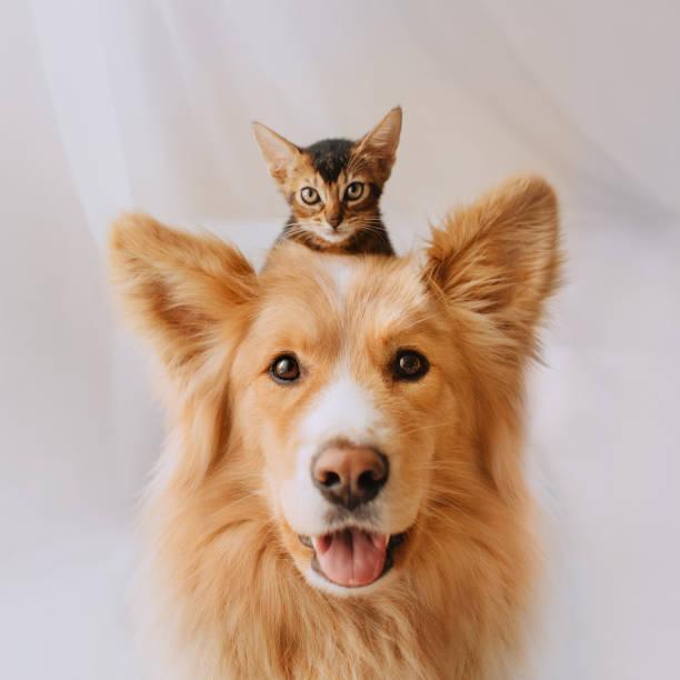 perro de raza mixta feliz posando con un gatito en la cabeza - mascota fotografías e imágenes de stock