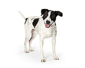 Happy mixed large breed dog with white fur and black spots. Mouth open smiling expression.
