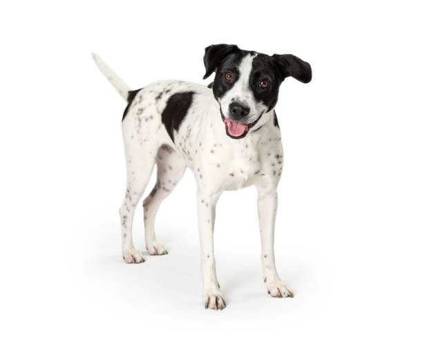 Happy Mixed Large Breed Dog White Black Spots stock photo