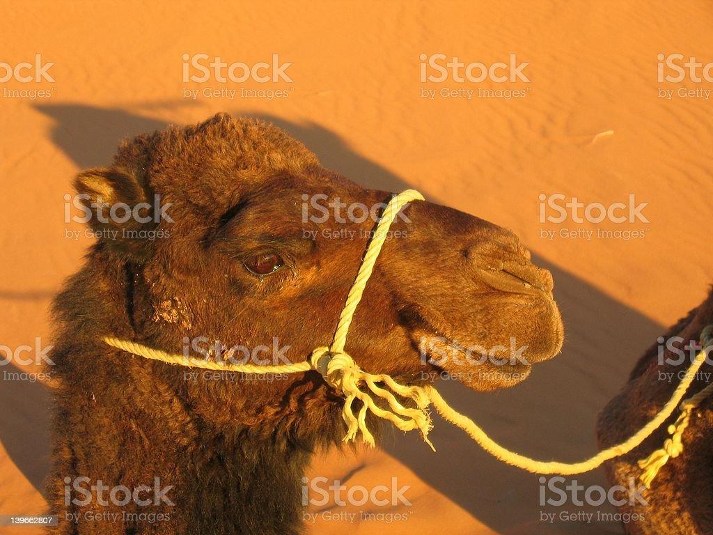 Happy Moroccan camel royalty-free stock photo