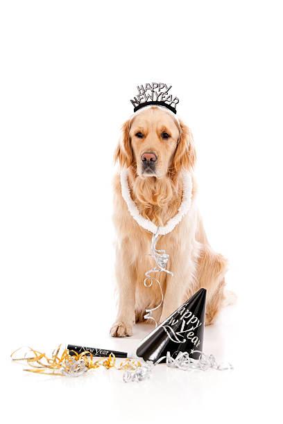 glückliches neujahr golden retriever - silvester mit hund stock-fotos und bilder
