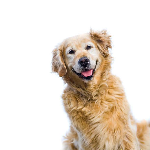 szczęśliwy, stara kobieta, golden retriever odizolowany na białym tle. - golden retriever zdjęcia i obrazy z banku zdjęć