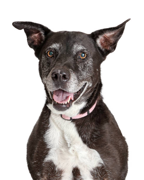 Happy old large dog closeup picture id1152479223?b=1&k=6&m=1152479223&s=612x612&w=0&h=vq8ofe6phbxtfqbqbax0vdbp4yn4x7nsa8qxm  adti=