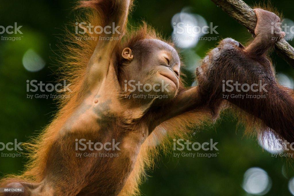Happy Orangutan Child royalty-free stock photo