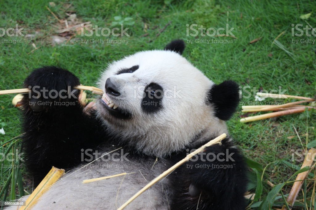 A happy panda name Yue Yue royalty-free stock photo