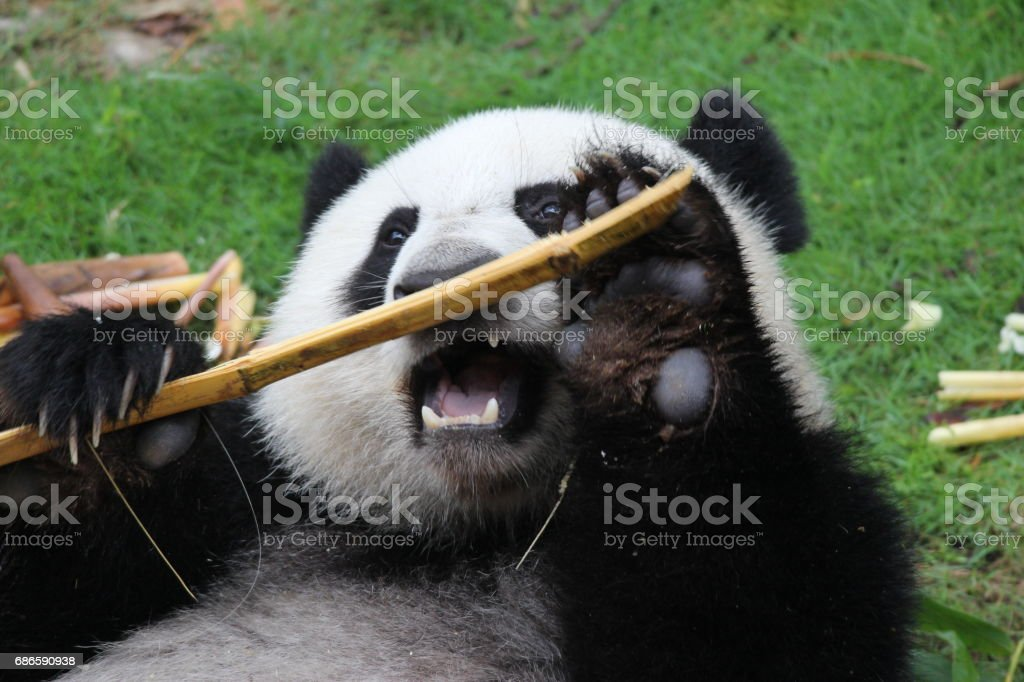 A happy panda name Yue Yue royalty-free stock photo