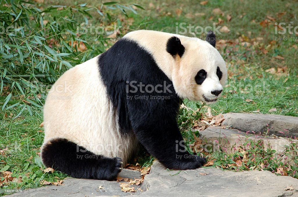 Happy panda posing for a picture stock photo