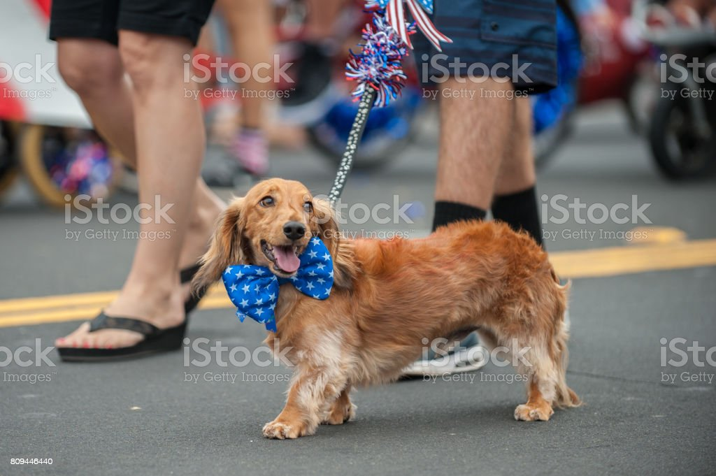 Happy parade dog in costume on July 4th. stock photo
