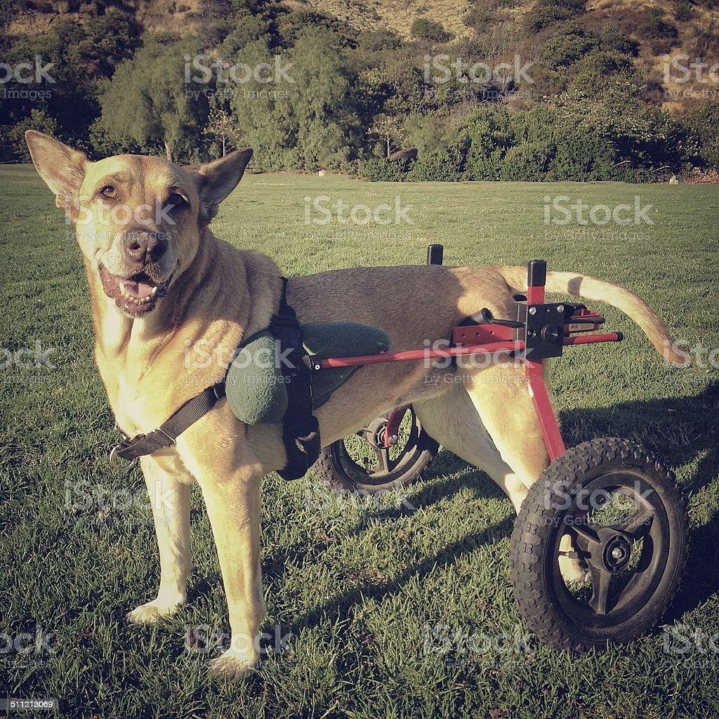 Feliz Paralyzed perro en el carrito - foto de stock