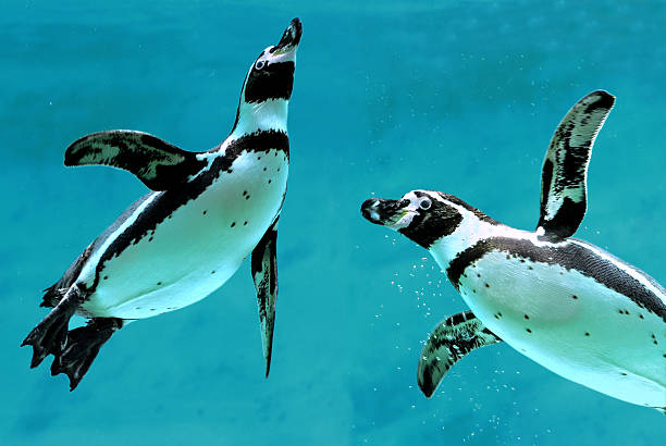 happy penguins swimming together in the blue sea - pinguins swimming stockfoto's en -beelden