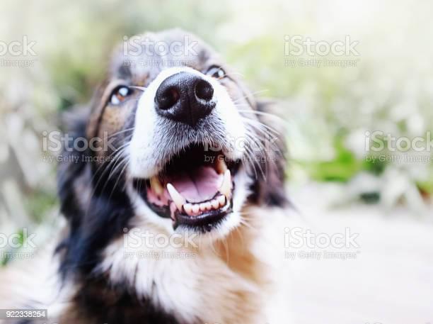 Happy pet border collie dog laughs picture id922338254?b=1&k=6&m=922338254&s=612x612&h=zpxsiwm8yth0jjjhmp9aolsrmwtw8ypkof1txe0ohdo=