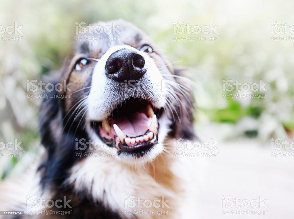 Happy pet Border Collie dog laughs stock photo