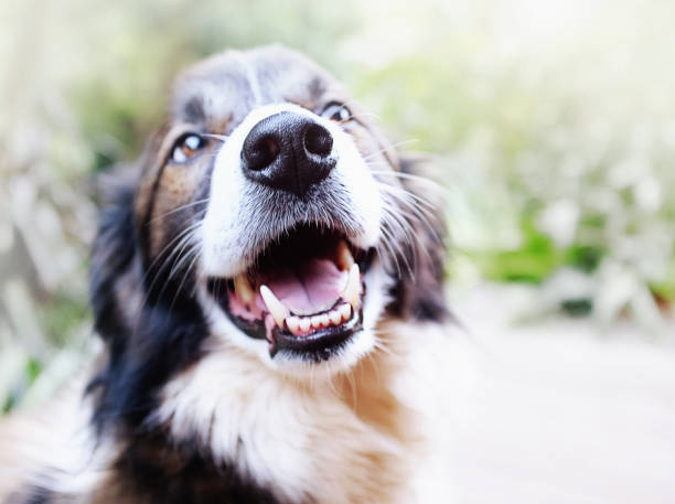 Happy pet Border Collie dog laughs A contented old Border Collie had his mouth open, seeming to laugh as he sits in a garden. snout stock pictures, royalty-free photos & images