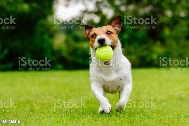 Happy pet dog playing with ball on green grass lawn picture id864238318?b=1&k=6&m=864238318&s=612x612&h=biawrb1am7tog0n86wetw60gc7wgq6dzklhnucf55qq=