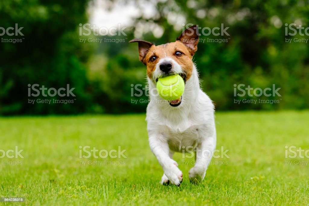 Happy pet dog playing with ball on green grass lawn stock photo