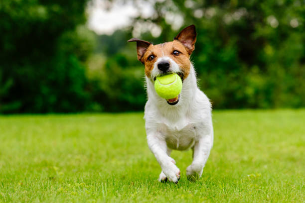 happy pet dog playing with ball on green grass lawn - dog stock pictures, royalty-free photos & images