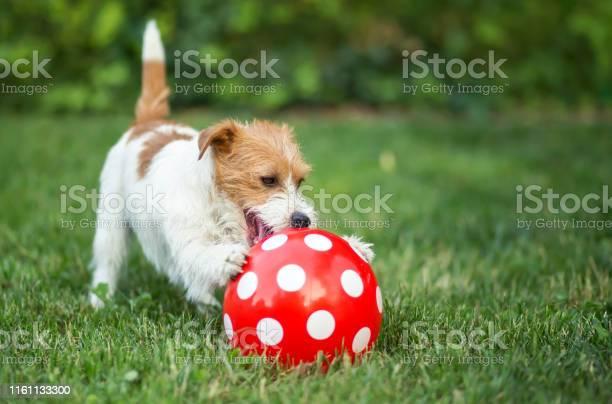 Happy pet dog puppy playing with a dotted ball picture id1161133300?b=1&k=6&m=1161133300&s=612x612&h=  yz9ytybbuziiosrpnwtzyocwnxg8yzhhc0ips ovc=