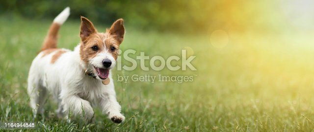 Happy active jack russel pet dog puppy running in the grass in summer, web banner with copy space