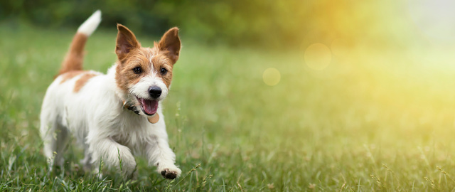 istock Happy pet dog puppy running in the grass in summer 1164944848