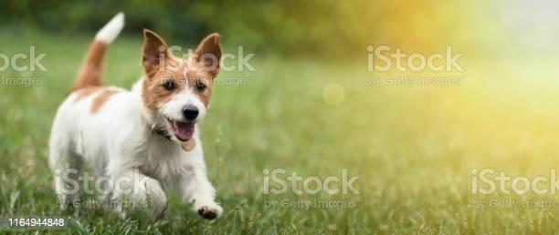Happy pet dog puppy running in the grass in summer picture id1164944848?b=1&k=6&m=1164944848&s=612x612&h=ohqe903krvtk cfzbgmfnju2lc8swv 0pkhvoxxjvya=