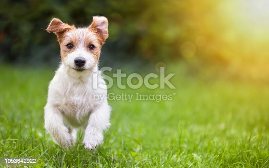 istock Happy pet dog puppy running in the grass 1053642922